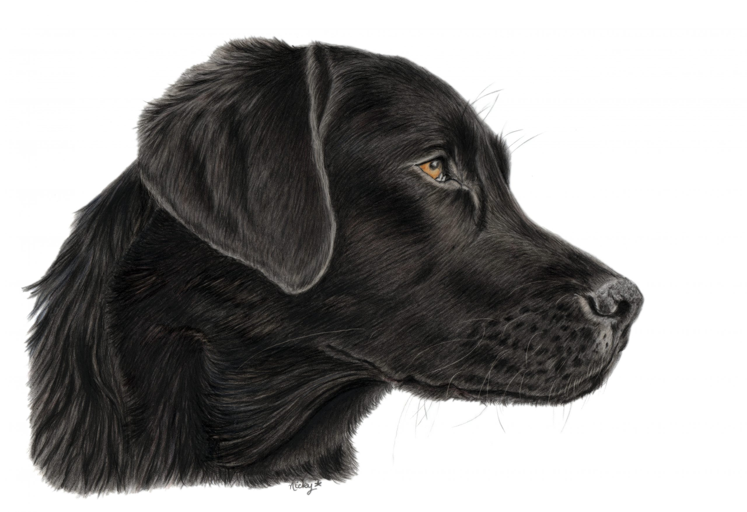 Black Labrador drawing