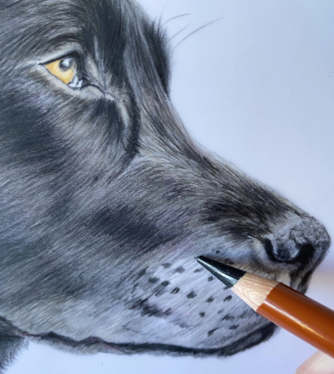 Drawing Black Labrador's nose