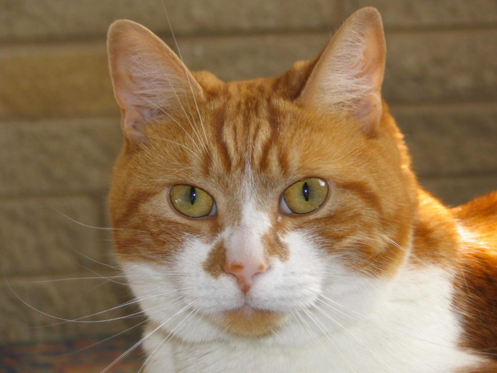 perfect clear, close up photograph for pet portrait of Ginger Tom Cat